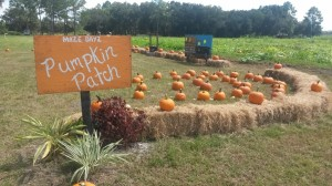 Locally grown Pumpkin Patch Bunnell Florida